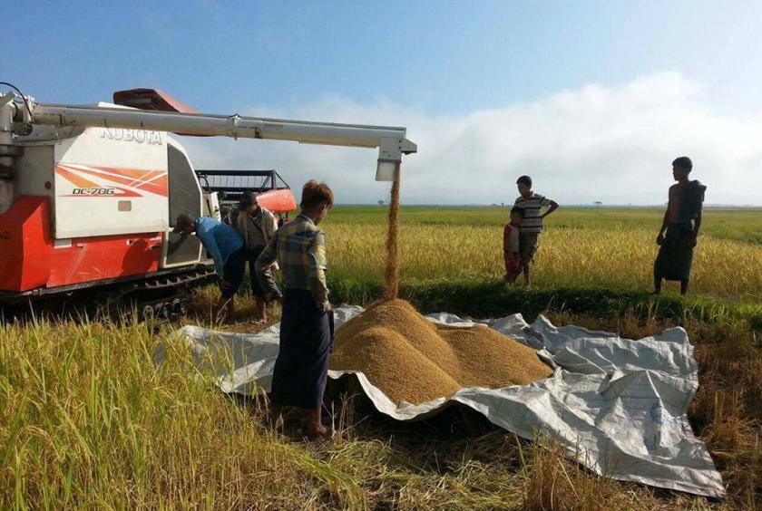 ရသေ့တောင်မြို့နယ်အတွင်း စပါးရိတ်သိမ်းခြွေလှေ့စက်ဖြင့် ရိတ်သိမ်းနေပုံကို ယခင်နှစ်က တွေ့ရစဉ်